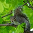Eastern Gray Squirrel (Sciurus carolinensis) in natural blur background, squirrel sitting on the tree, Eastern Gray Squirrel on a tree branch, Squirrel on summer, wild animal, focus to the face — Lizenzfreies Foto