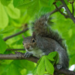 Eastern Gray Squirrel (Sciurus carolinensis) in natural blur background, squirrel sitting on the tree, Eastern Gray Squirrel on a tree branch, Squirrel on summer, wild animal, focus to the face — 图库照片