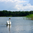 Swan on blue lake water in sunny day, nature series, Mute swan (Cygnus olor) gliding across a lake in front of forest on sunny summer day, Mute swan on water. White wild bird — Stock Photo #29433871