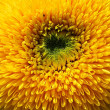 Sunflower named Giant Sungold, sunflower close up, sunflower background, yellow background, summer background, unusual sunflower, nice yellow orange sunflower, flora, macro, yellow flower close up — Stock Photo