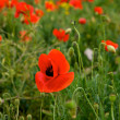 Red poppy field with blur nature background,poppies in spring time, red poppies, spring background,Red flower background, defocus, focus to the nearest part of lenses. Focus to the middle. — Stock Photo #37750605