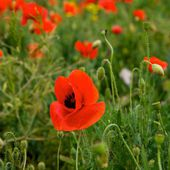 Red poppy field with blur nature background,poppies in spring time, red poppies, spring background,Red flower background, defocus, focus to the nearest part of lenses. Focus to the middle. — Stock Photo