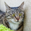 Cat, resting cat in blur light background, angry cat, cat close up, domestic cat, selective focus to the face, focus to the cat, composition, grey cat with blur noisy background, focal focus — Stock Photo #38341529