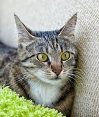 Cat, resting cat in blur light background, angry cat, cat close up, domestic cat, selective focus to the face, focus to the cat, composition, grey cat with blur noisy background, focal focus — Stock Photo