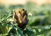Artichoke in blur warm light background, Artichoke in maltese farmland, fresh vegetable artichoke in blur background, sunny day, vegetable in the field — Stock Photo