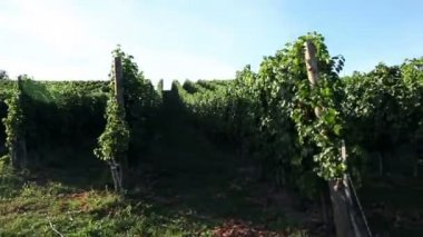 Crane shot of the sceneric wineyard — Stock Video