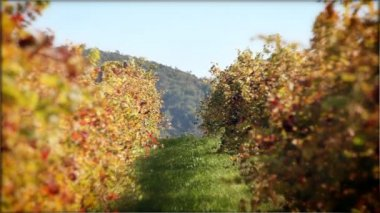 Vineyard — Stock Video