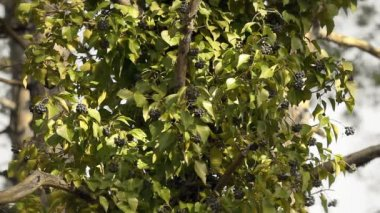 Close up of leafs on tree — Stock Video