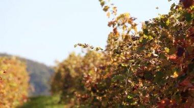 Wineyard in autumn — Stock Video