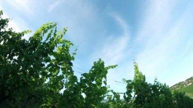 Crane shot of the sceneric wineyard — Stock Video