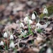 Still shot of snowdrops moving because of wind blowing — Stock Video #28350667