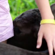 Close up of girl's hand caressing small black calf — Stockvideo #28354085
