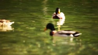 Shot of ducks and swans swimming in lake with color correction — Stock Video