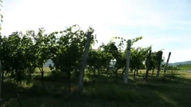Shot of driving through the wineyard with special sun reflection — Stock Video