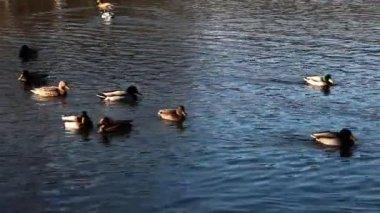 湖で泳いでいるいくつかのアヒル — ストックビデオ