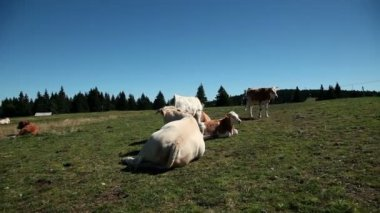 Cows resting on a tableland with a special climate — Stock Video
