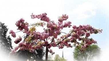 Blossom tree with pink flowers — Vídeo de stock