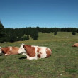 Stock Video: Cows resting on tableland