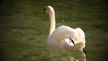 Close up of swan wih its reflection on water surface — Stock Video