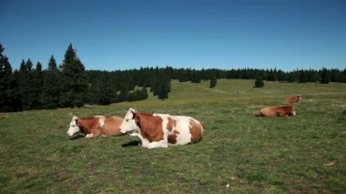 Cows resting on a tableland — Stock Video