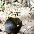 Shot of a two small mammals walking and snuffing around — Stock Video
