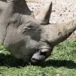 CLose up of a rhino eating grass — Stock Video
