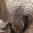 Porcupine in zoo eating fruit — Stock Video