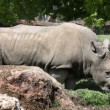 Stock Video: Rhinocerus eating grass behing big rock