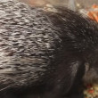 Porcupine in zoo eating fruit — Stock Video #28383003