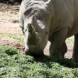 Stock Video: Closer shot of rhino eating grass