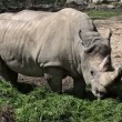 Stock Video: Shot of rhino eating grass