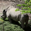 Stock Video: Shot of rhinocerus eating grass