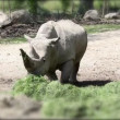 Shot of a rhino eating grass with added tilt shift effect — Stock Video