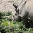 Shot of rhinocerus eating grass — Stock Video