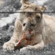 Lioness in zoo eating — Stock Video