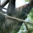 Sloth slowly climibng on tree branches — Stock Video