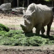 Shot of a rhinocerus eating grass — Vidéo