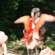 Two flamingo fighting with beaks and wings — Stock Video