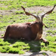 Shot of ibex lying down — Stock Video
