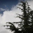 Conifer tree with clouds in behind — Stock Video