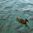 Shoal of fishes and ducks swimming — Stock Video