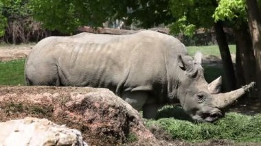 Rhinocerus eating grass behing big rock — Stock Video