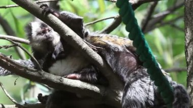 Shot of two monkeys one trying to sleep and other eating lices — Stock Video