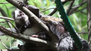 Tiro de dos monos uno tratando de dormir y otros comiendo lices — Vídeo de Stock