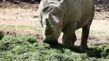 Closer shot of a rhino eating grass — Stock Video