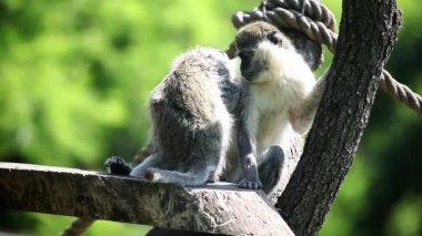 Dos monkies sentado y otro de limpieza — Vídeo de Stock