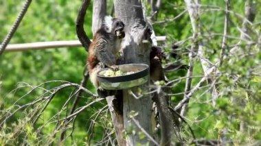 обезьяны едят из корзина с фруктами — Стоковое видео