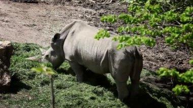 Shot of rhinocerus eating grass — Stock Video
