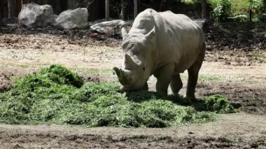 Shot of a rhinocerus eating grass — Stock Video
