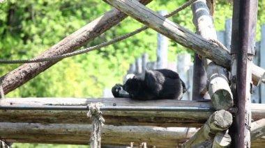 обезьяна, лежа на доске — Стоковое видео